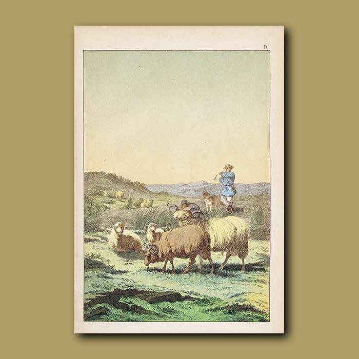 Antique print. Shepherd and Merino Sheep