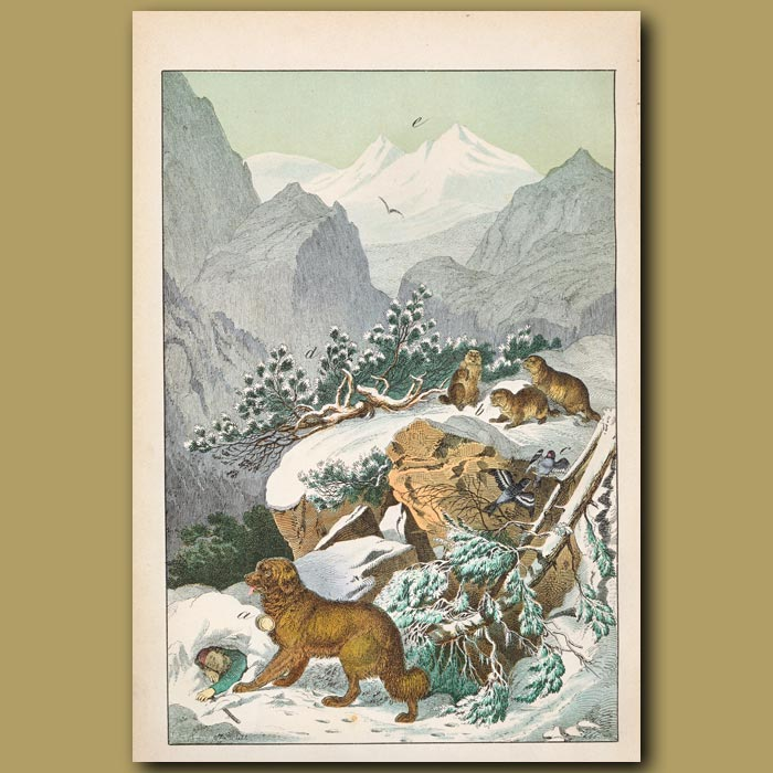 Antique print. Alpine scene showing St Bernard dog and marmots