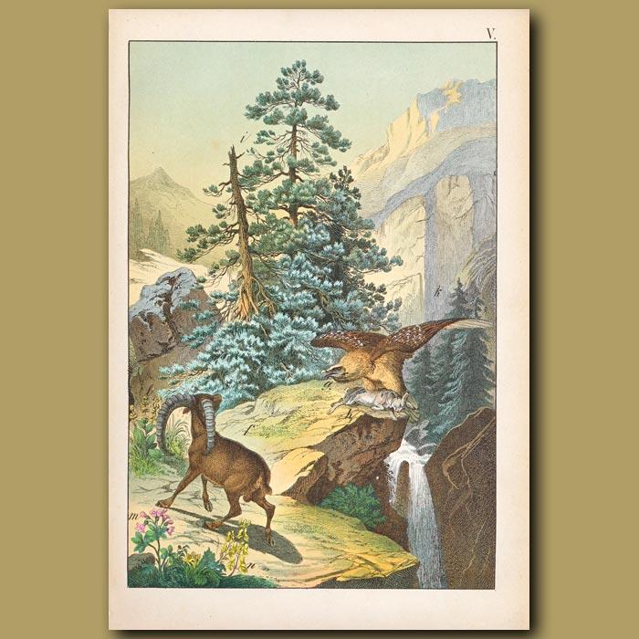 Antique print. Alpine scene, Alpine Hare, Steinbock and Bearded Vulture