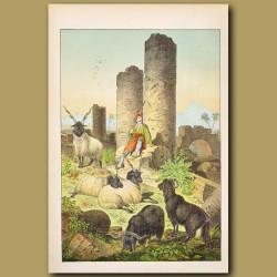 Scene in Greece showing Syriax Goat, Wallachian Sheep, ruins