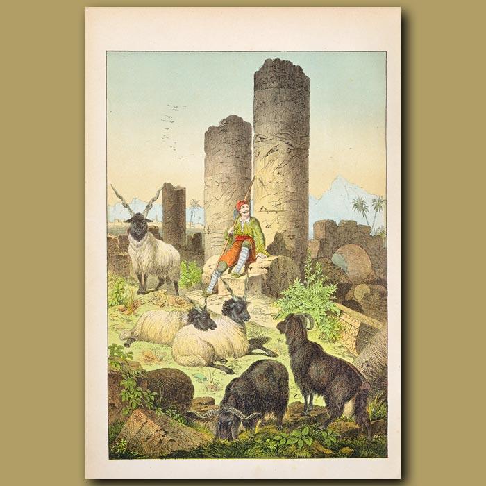Antique print. Scene in Greece showing Syriax Goat, Wallachian Sheep, ruins