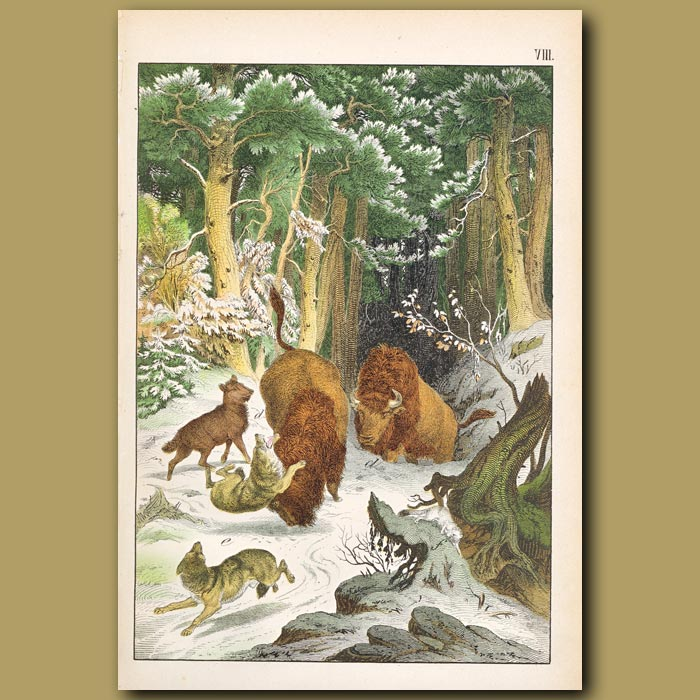 Antique print. Aurochs, Wolves, Ermine in a Snowy Forest