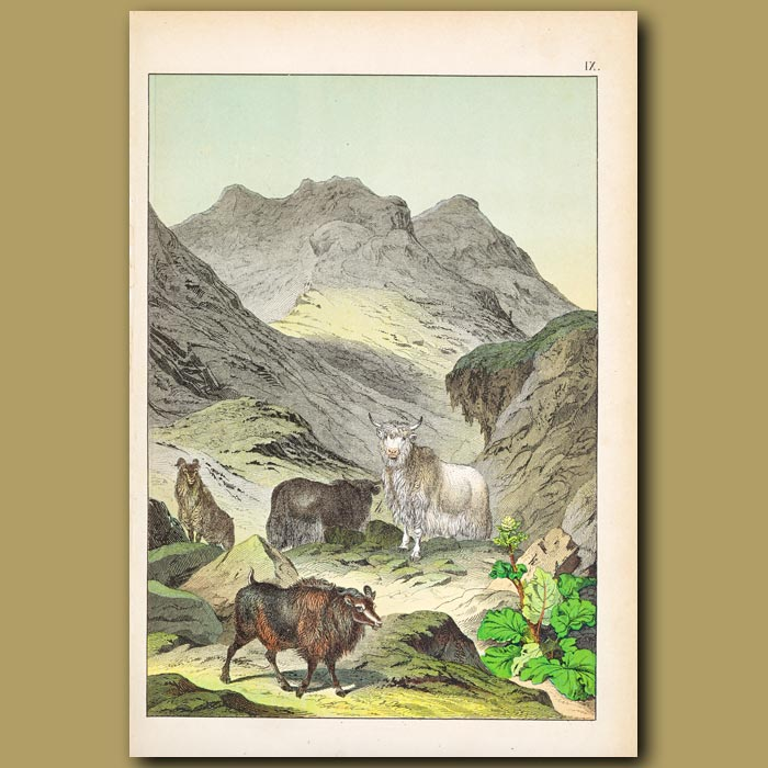 Antique print. Himalayas featuring Grunting Ox (Yak)