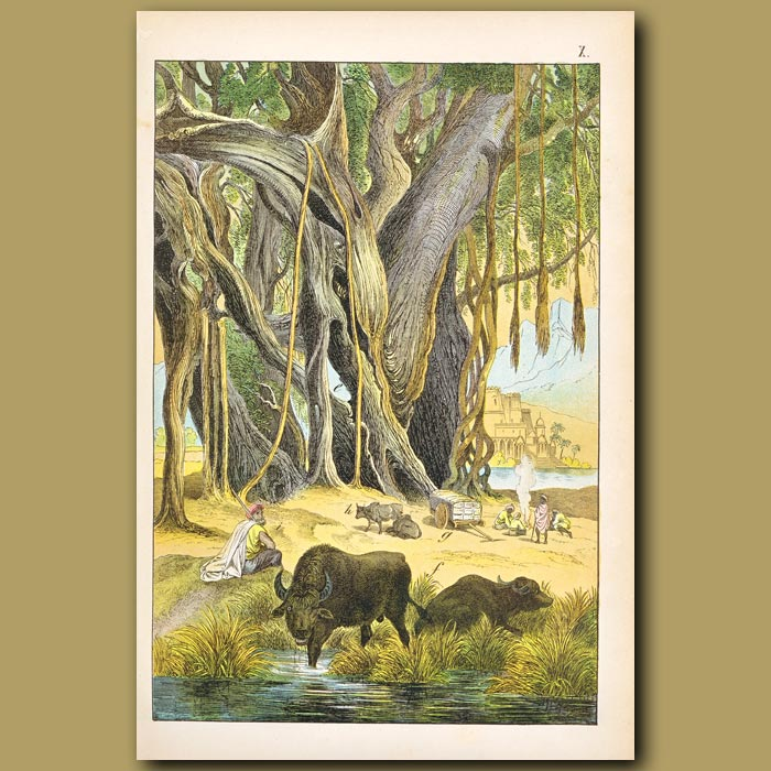 Antique print. Water Buffalo, Sacred or Banyan Fig, Hindu people
