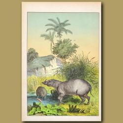 Nutmeg Tree, Cocoa Palm, Indian Hog