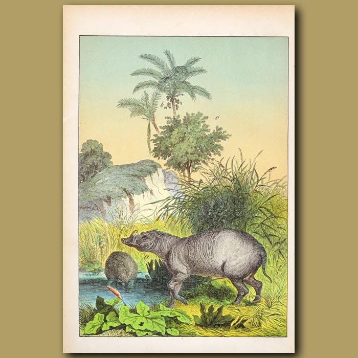 Antique print. Nutmeg Tree, Cocoa Palm, Indian Hog
