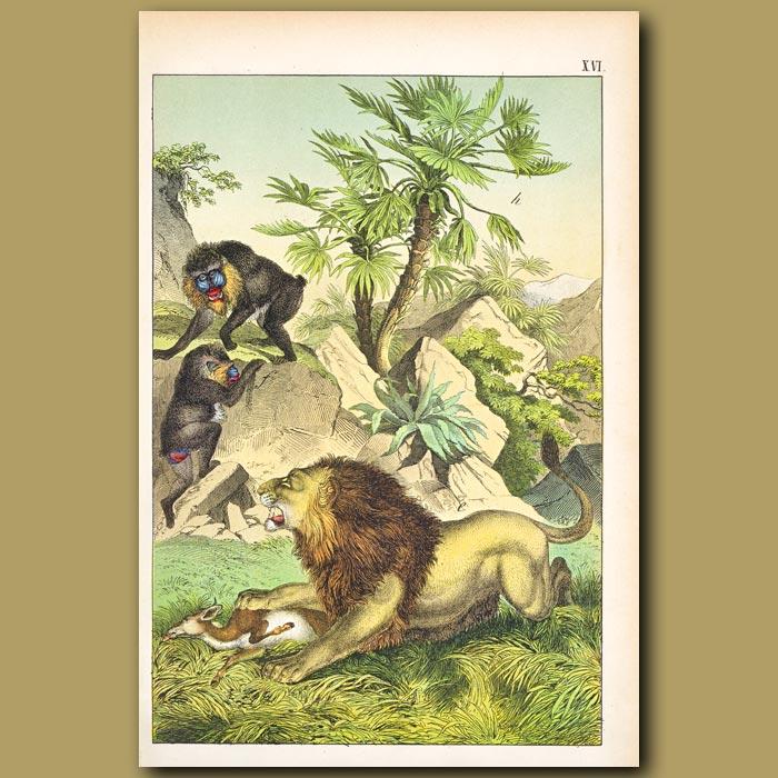 Antique print. Mandrill monkey, Lion, Dwarf Palm, Gazelle
