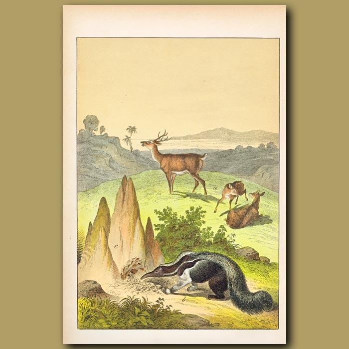 Antique print. Pampas Stag, Viscacha, Ant Eater, Termites