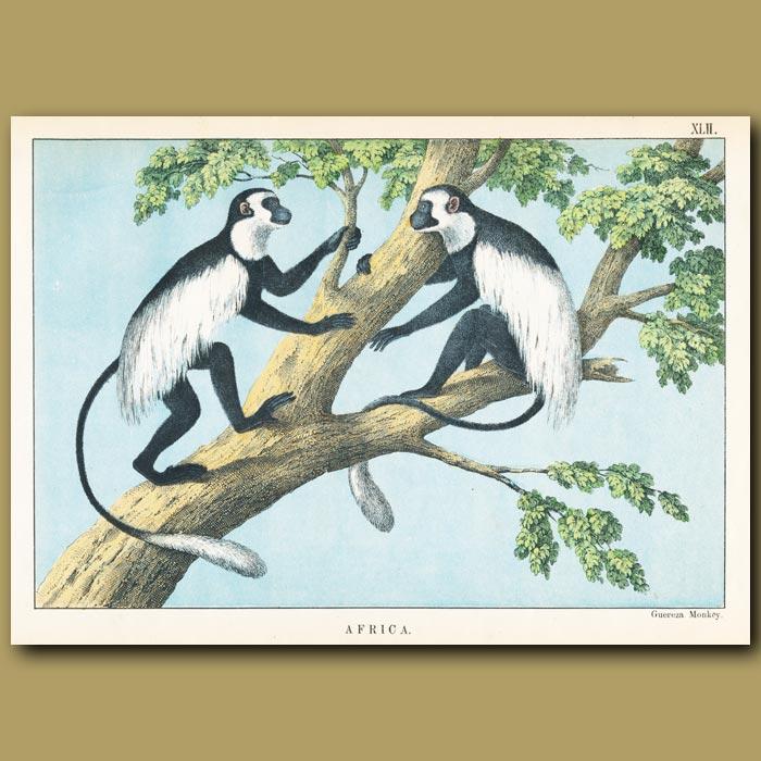 Antique print. The Gueraza Monkey