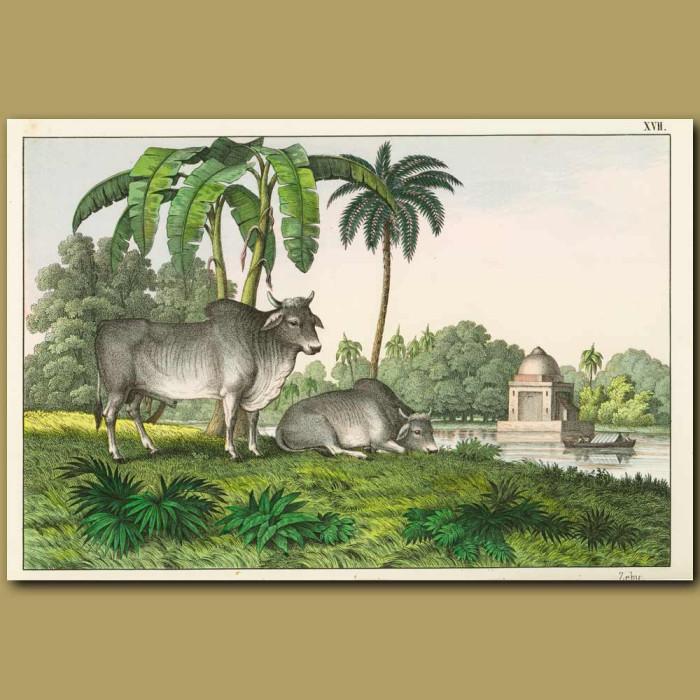 Antique print. Water Buffalo (Zebu)