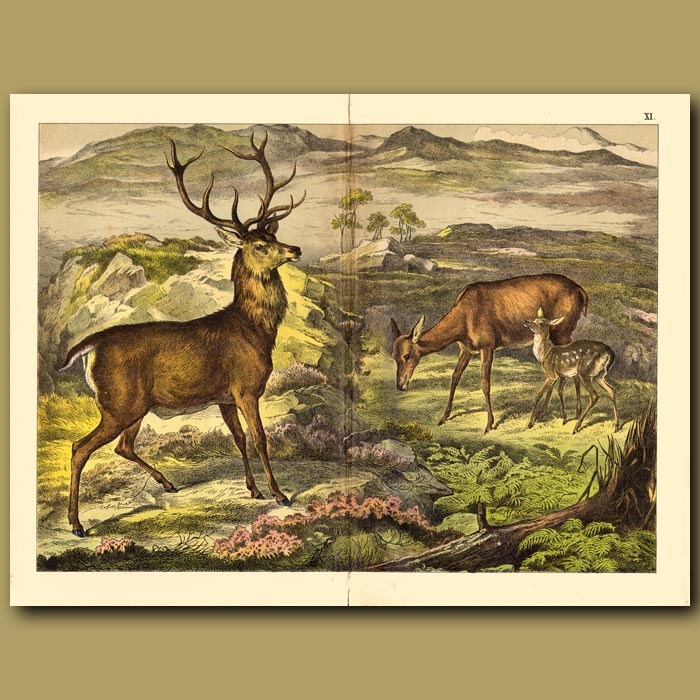 Antique print. Stag, Doe and Fawn