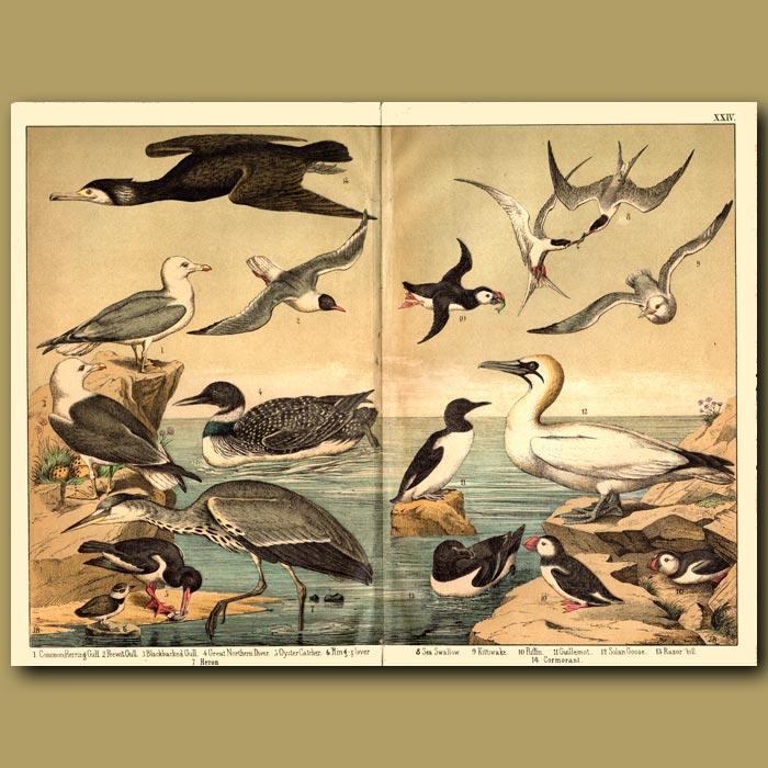 Antique print. Seabirds