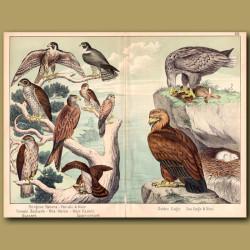 Golden Eagle, Sea Eagle, Falcons And Kestrel