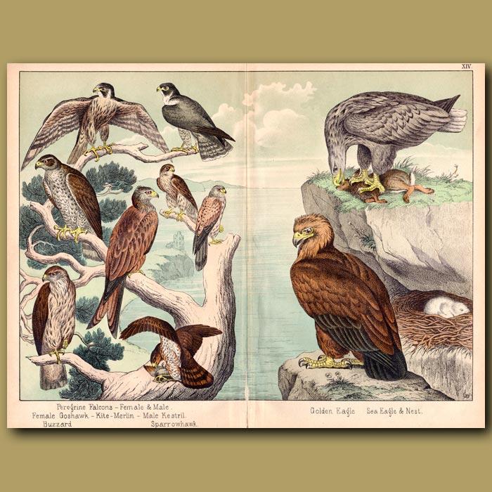 Antique print. Golden Eagle, Sea Eagle, Falcons and Kestrel