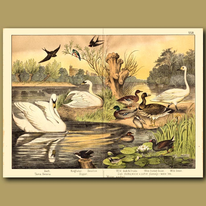 Antique print. Swans and Ducks