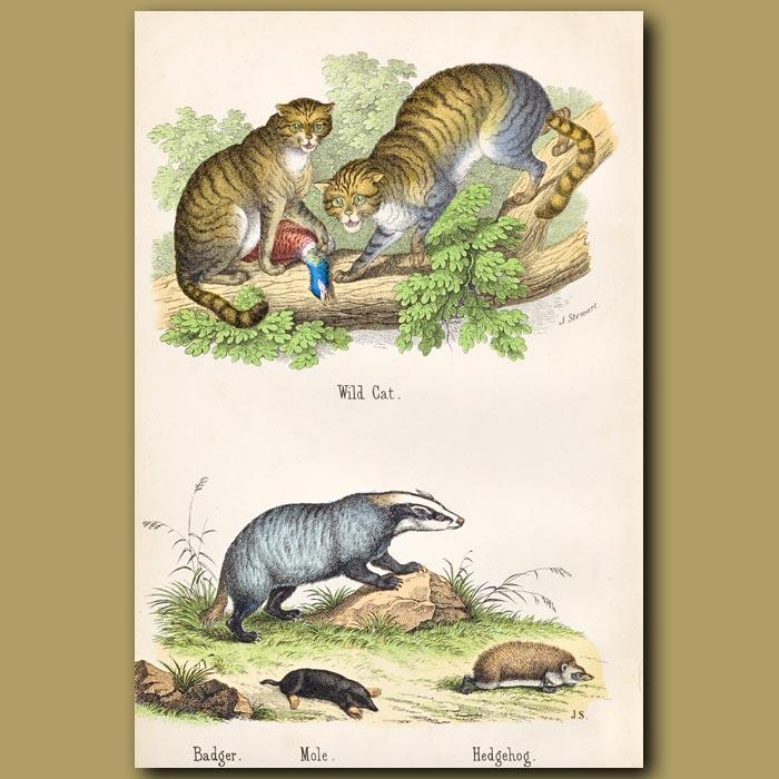 Antique print. Wild Cat, Badger, Mole, Hedgehog