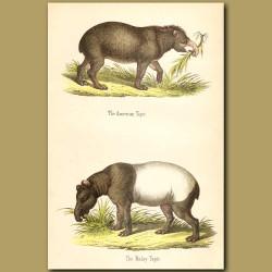 American and Malay Tapir