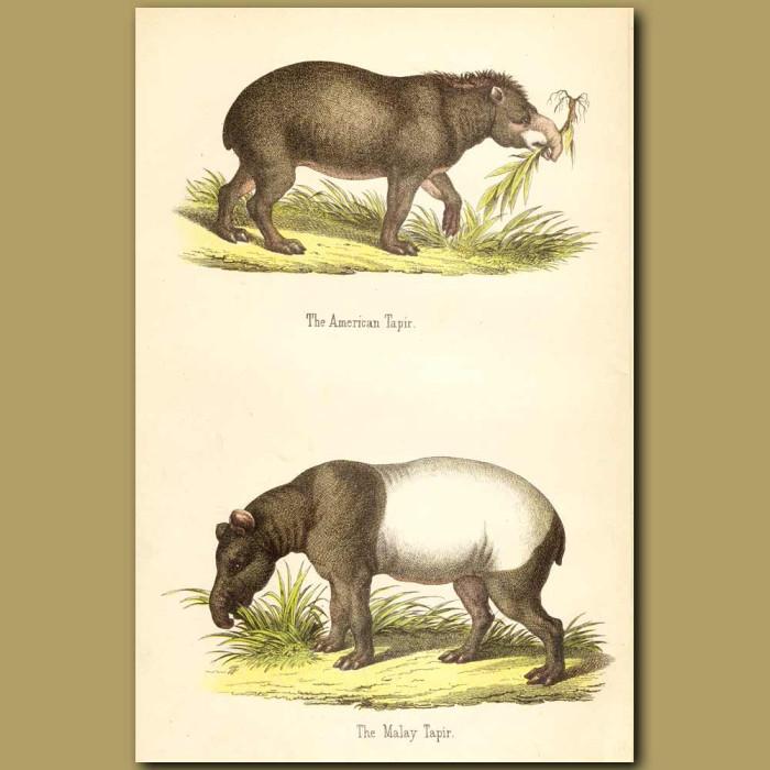 Antique print. American and Malay Tapir