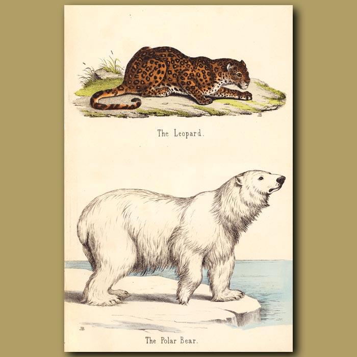 Antique print. Polar Bear and Leopard