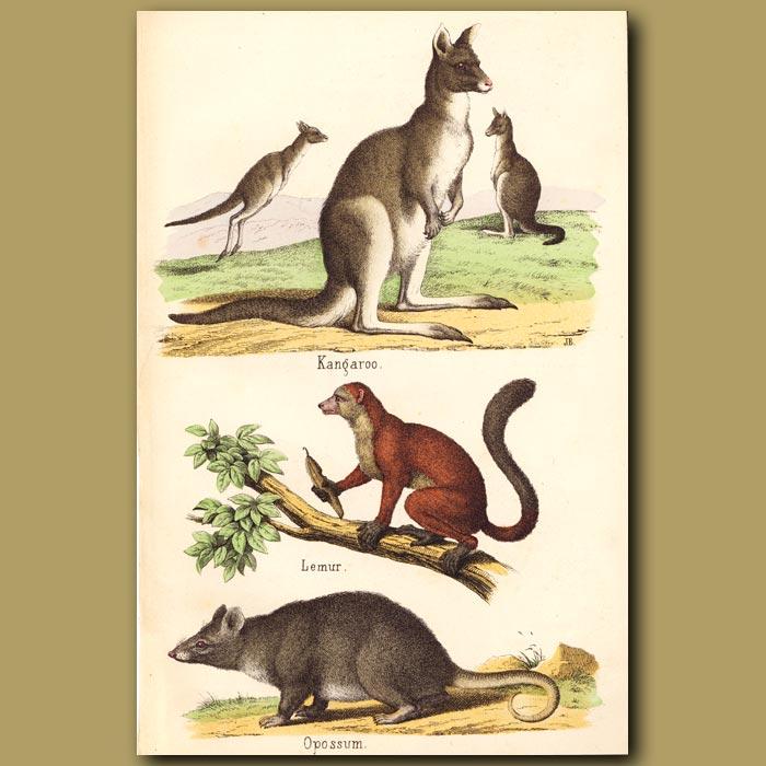 Antique print. Kangaroo, Lemur and Opossum
