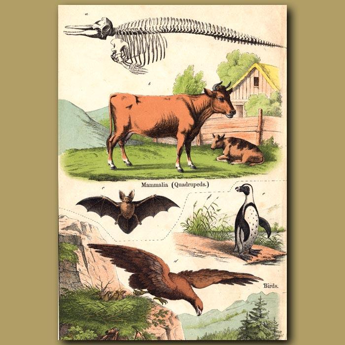 Antique print. Dairy Cow, Bat, Eagle and Penguin