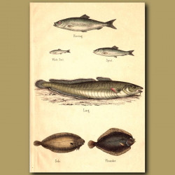 Herring, Ling, Flounder and Sole