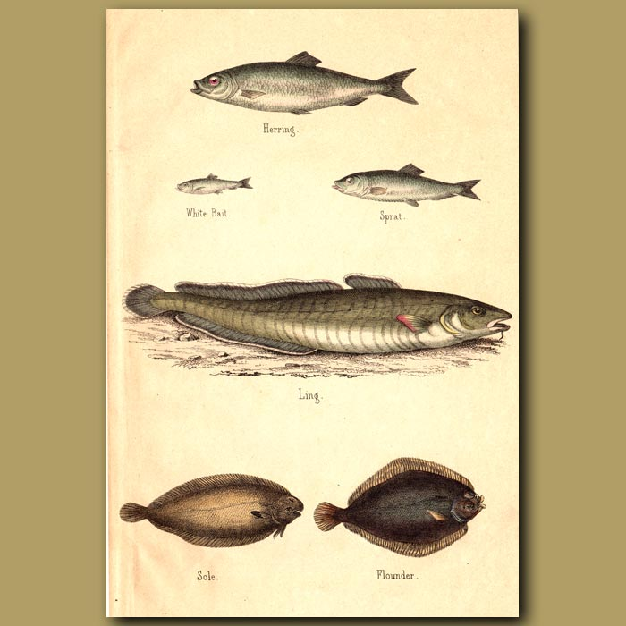 Antique print. Herring, Ling, Flounder and Sole