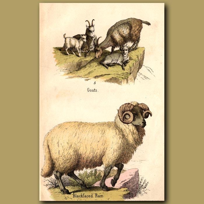 Antique print. Goats and Blackfaced Ram