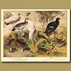 Grouse, Ptarmigan And Woodcock