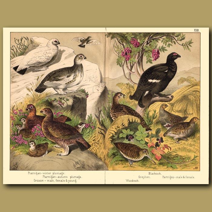 Antique print. Grouse, Ptarmigan and Woodcock