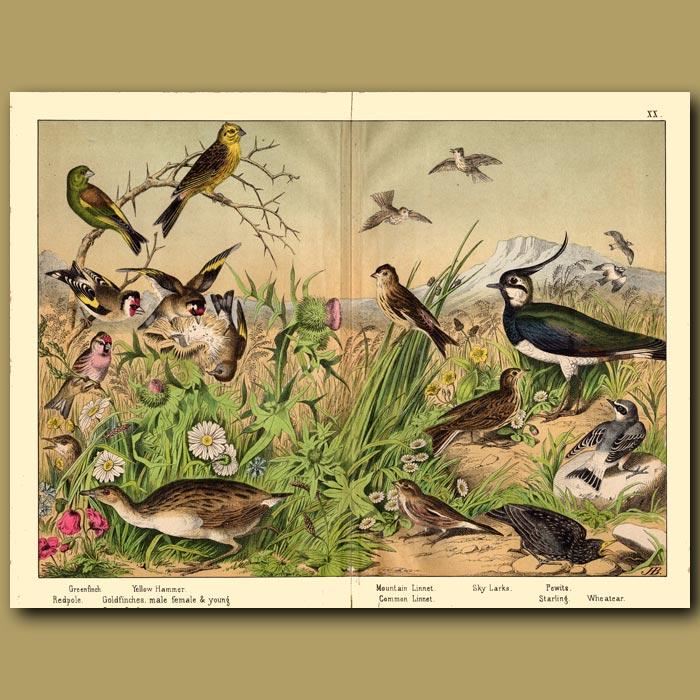 Antique print. Skylark, Starling and Linnet