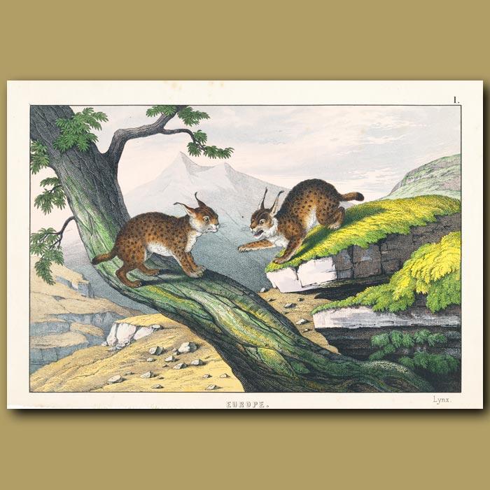Antique print. Lynx