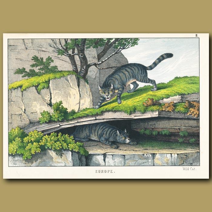 Antique print. Wild Cats