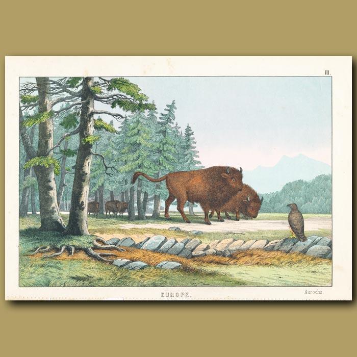 Antique print. Aurochs