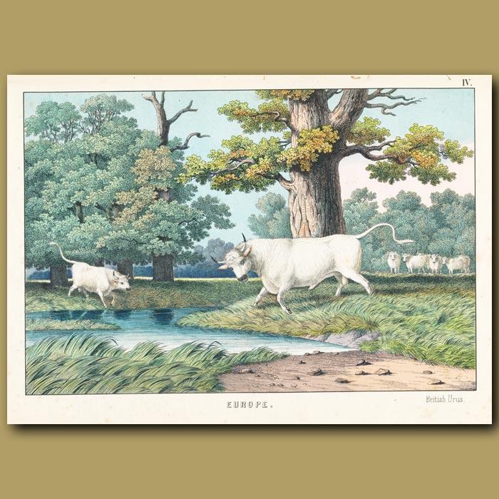 Antique print. British Bull (Urus)