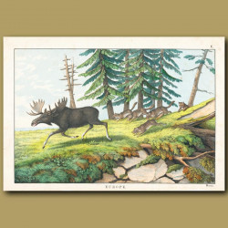 Moose and wolves