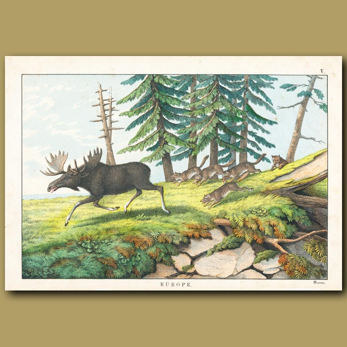 Antique print. Moose and wolves