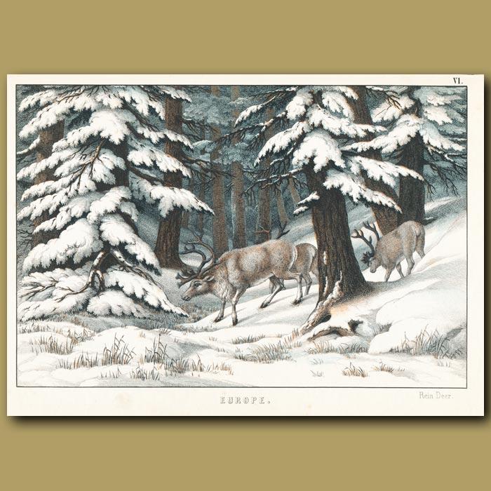 Antique print. Reindeer in snowy pine forest