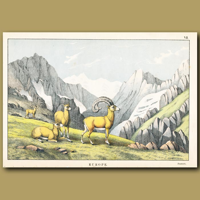 Antique print. Ammon or curly horned mountain goat