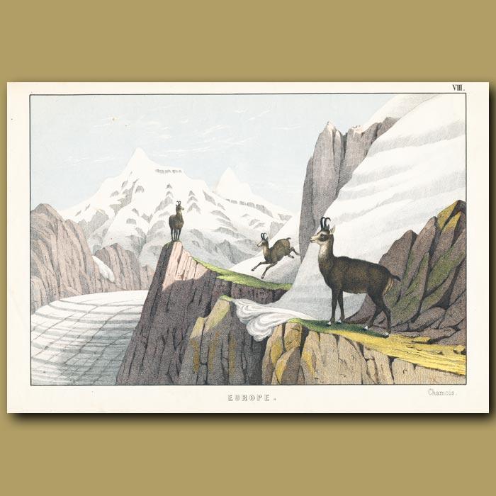 Antique print. Chamois deer near a Glacier