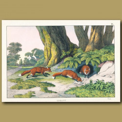 Foxes and country house
