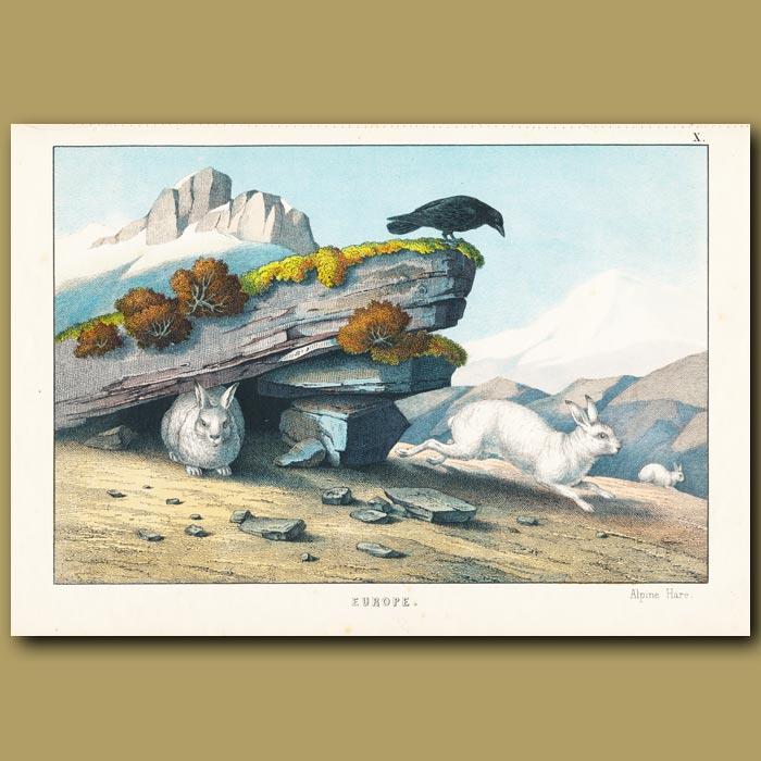 Antique print. Alpine Hare