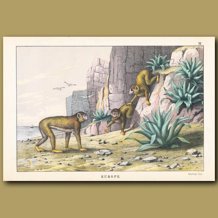 Antique print. Barbary Ape