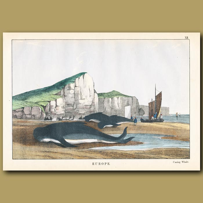Antique print. Caaing Whale (Long finned Pilot Whale)