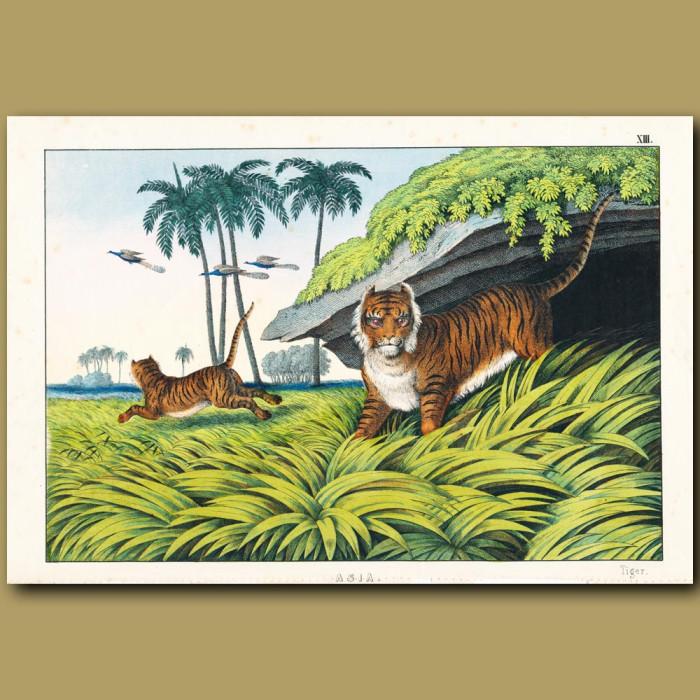 Antique print. The Tiger