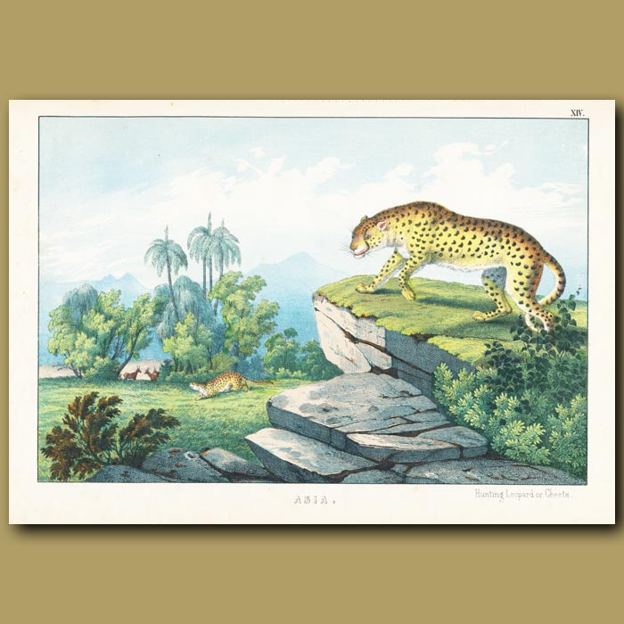 Antique print. Hunting Leopard or Cheetah