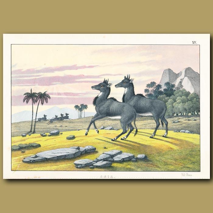 Antique print. Nil-Ghau Deer