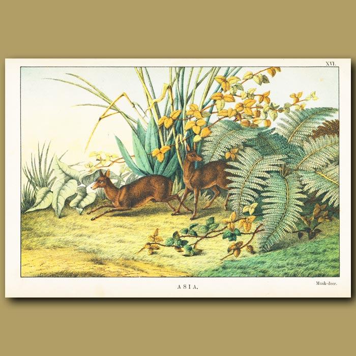 Antique print. Musk Deer