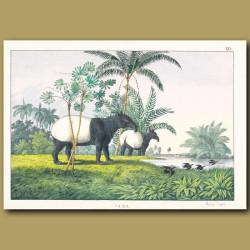 Malay Tapir