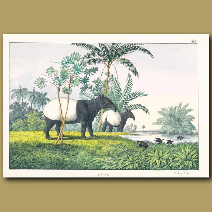 Antique print. Malay Tapir
